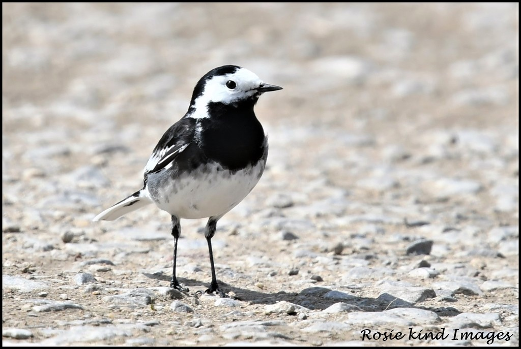 Pied Wagtail by rosiekind