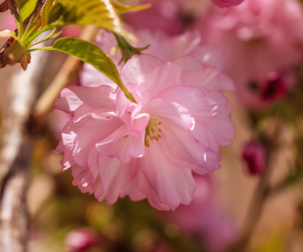 ornamental cherry  by aecasey