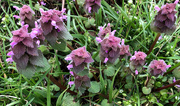10th Apr 2019 - Purple Dead Nettle