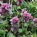 Purple Dead Nettle