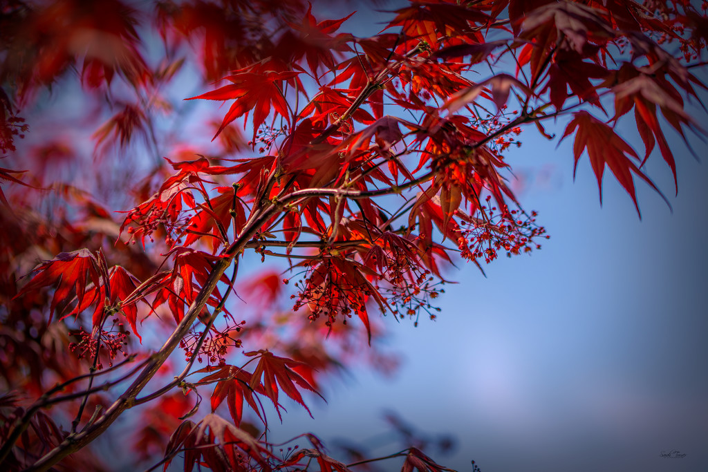 Japanese Maple blossoms by samae