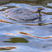 Horned Grebe coming up from a dive