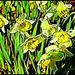 Dandy Daffodils by olivetreeann