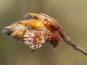 10th Apr 2019 - Bud of beech