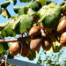 Kiwi fruit on the vine,Central Nth Island New Zealand