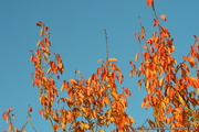 15th Apr 2019 - Red Leaves and Blue Sky