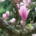 Single Magnolia Bloom