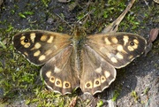 10th Apr 2019 - SPECKLED WOOD - UPPER WING VIEW