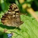 SPECKLED WOOD - UNDERWING VIEW