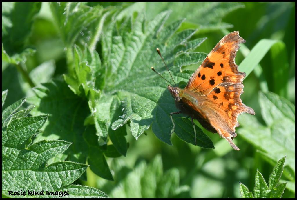 Comma Butterfly by rosiekind