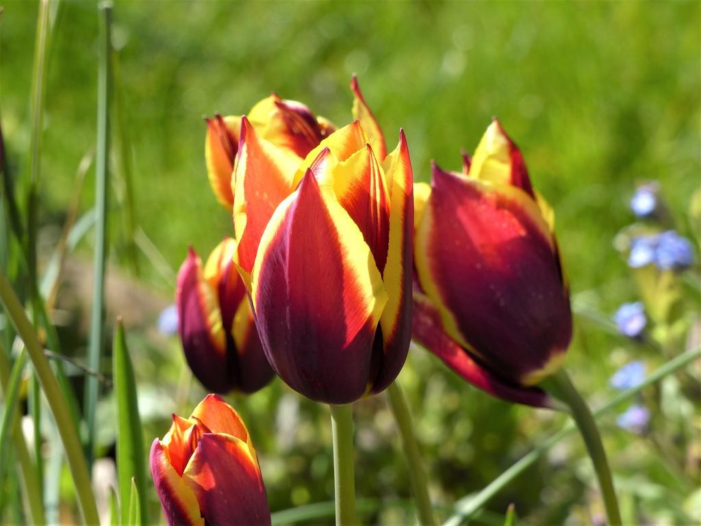 Tulips by susiemc