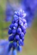 12th Mar 2019 - Blue Buds