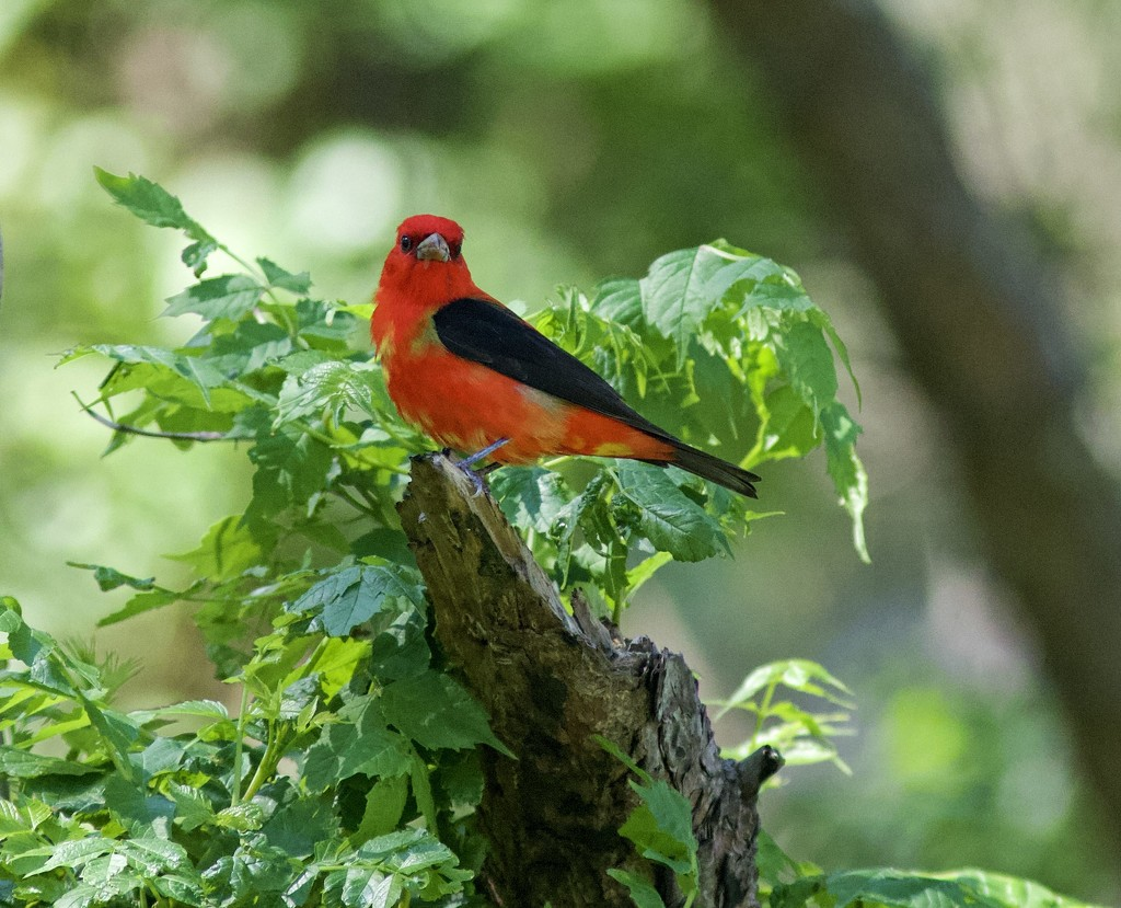LHG_6976 scarlet tanager by rontu