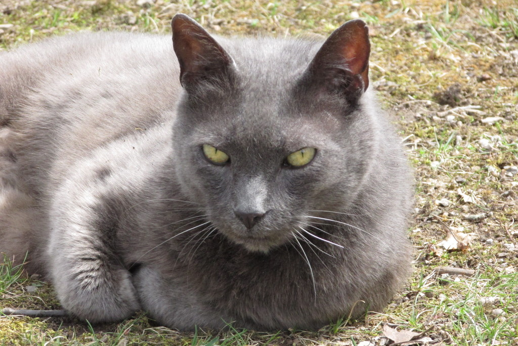 My Gray Kitty Cat by julie