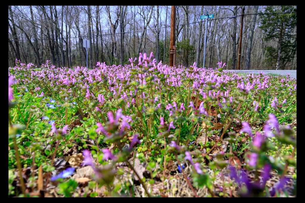 20190411-Spring in Cedar Gardens by hjbenson
