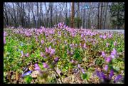 11th Apr 2019 - 20190411-Spring in Cedar Gardens