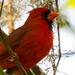 Mr Cardinal Up Close!