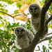 Baby Owls Getting Together Before Dinner! by rickster549