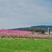 Peach Blossom Explosion