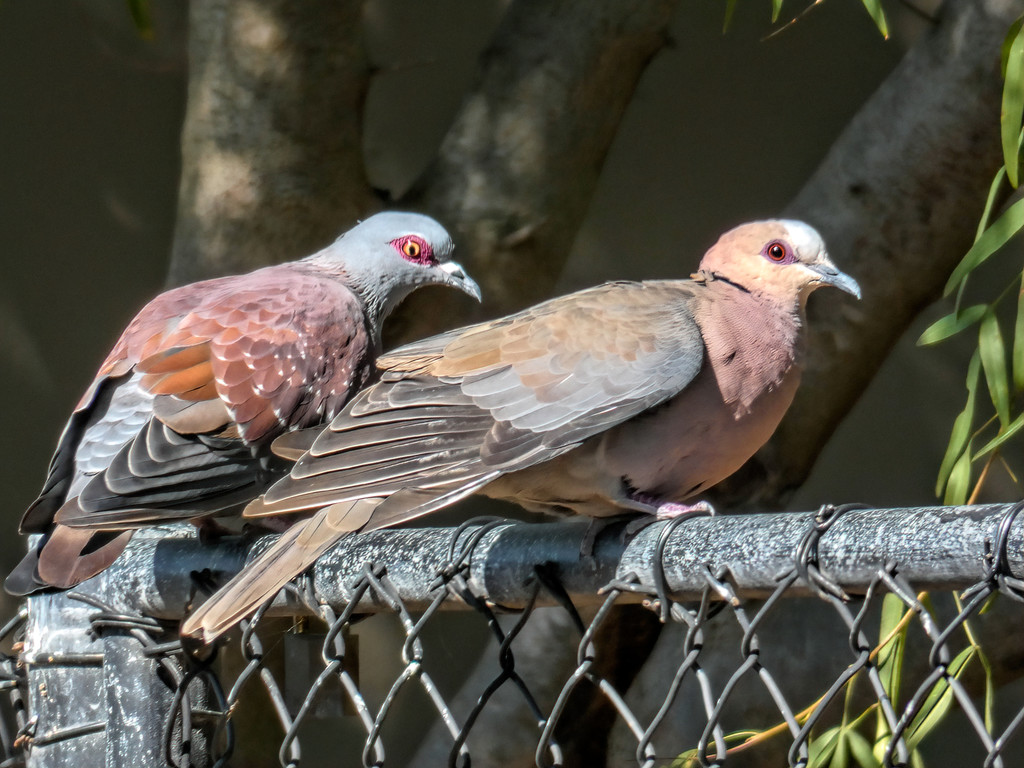 Speckled Pidgeon and Red-eyed Dove by ludwigsdiana