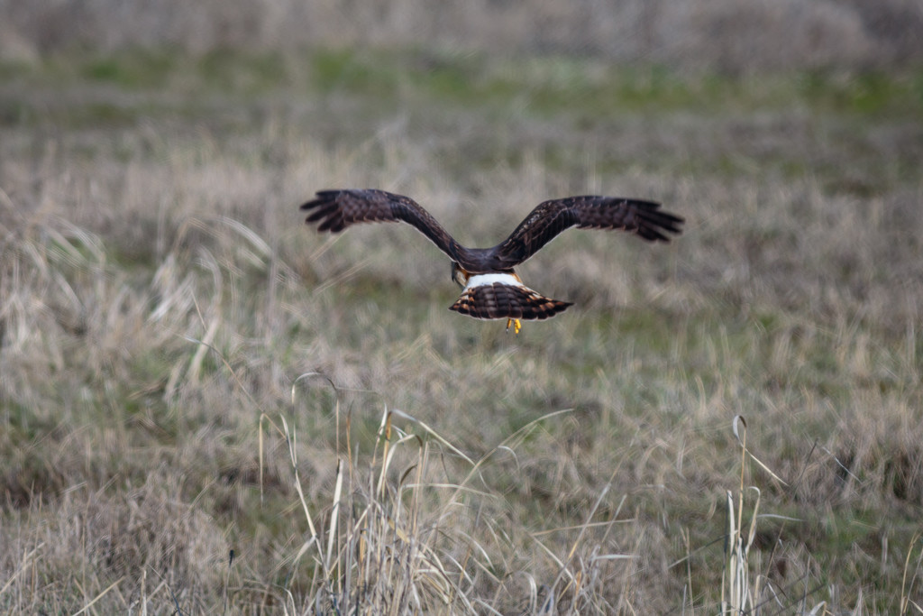Northern Harrier, flying low as she hunts by lindasees