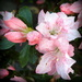 Light pink azalea