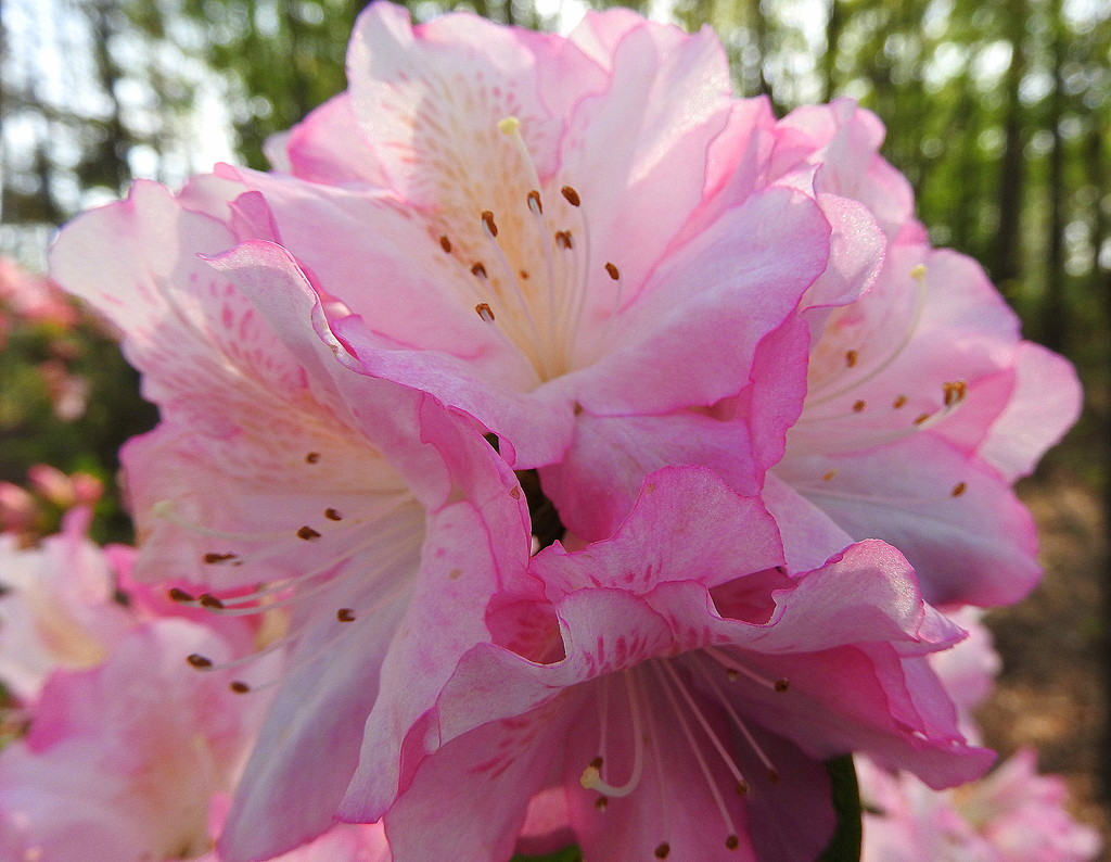 Pink azalea bokeh by homeschoolmom