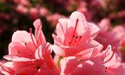 12th Apr 2019 - Tiny pink azaleas in sun
