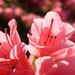 Tiny pink azaleas in sun