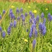 Grape Hyacinths and Dandilions