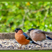 Mr and Mrs Bullfinch