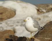 11th Apr 2019 - Seagull