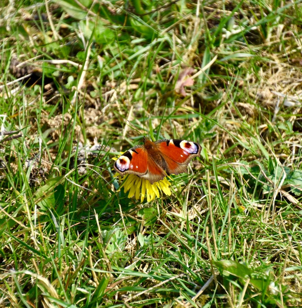 Peacock Butterfly by gillian1912