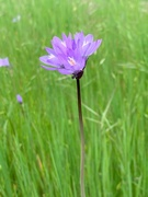 12th Apr 2019 - Wildflower from morning walk