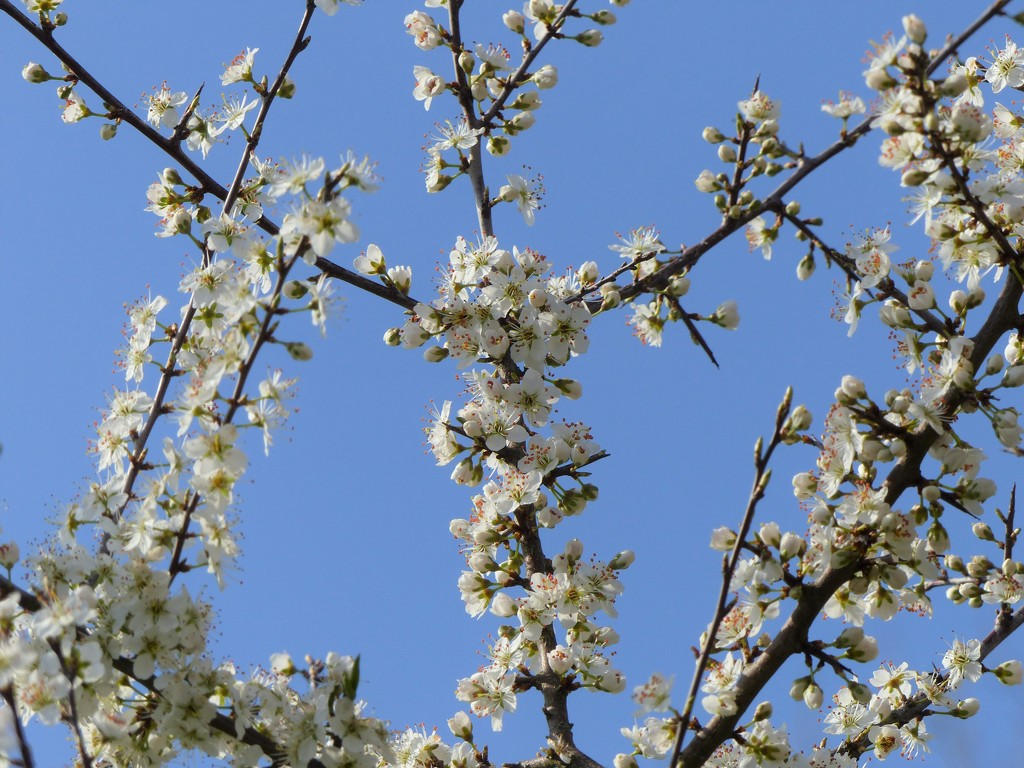 Blackthorn and Blue Sky by susiemc