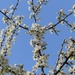 Blackthorn and Blue Sky