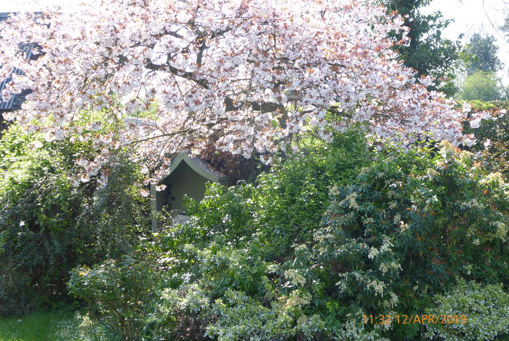 Another view of the garden ,the cherry tree in full blossom by snowy