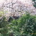 Another view of the garden ,the cherry tree in full blossom