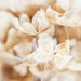 hydrangea blossom all done