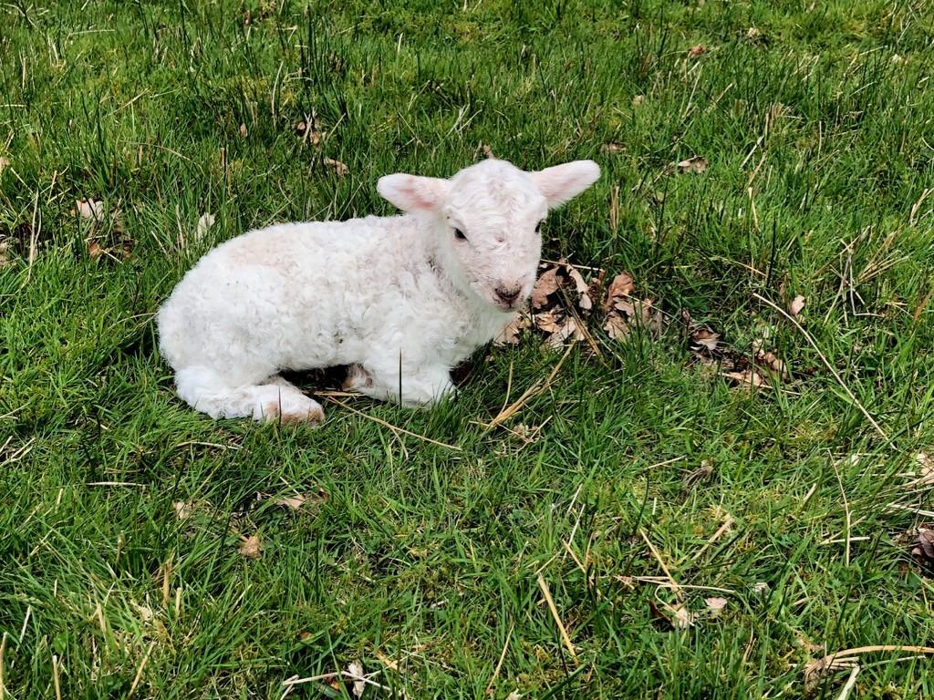Very newborn lamb by dailydelight