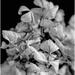 hydrangea blossom b&w