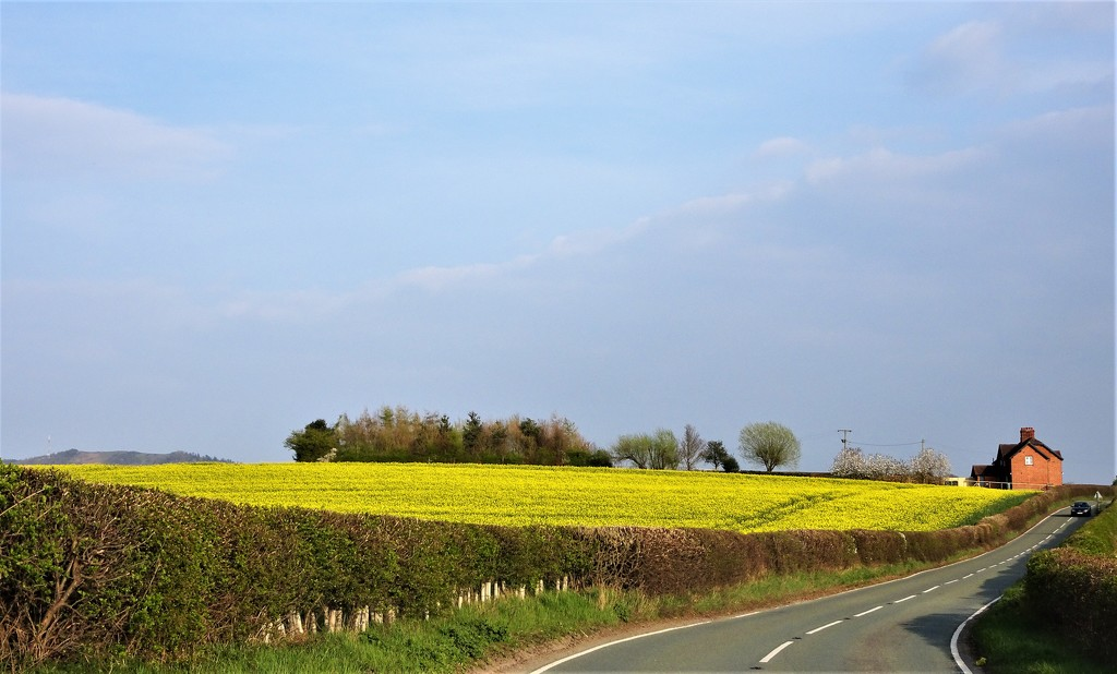 Yellow fields  by beryl