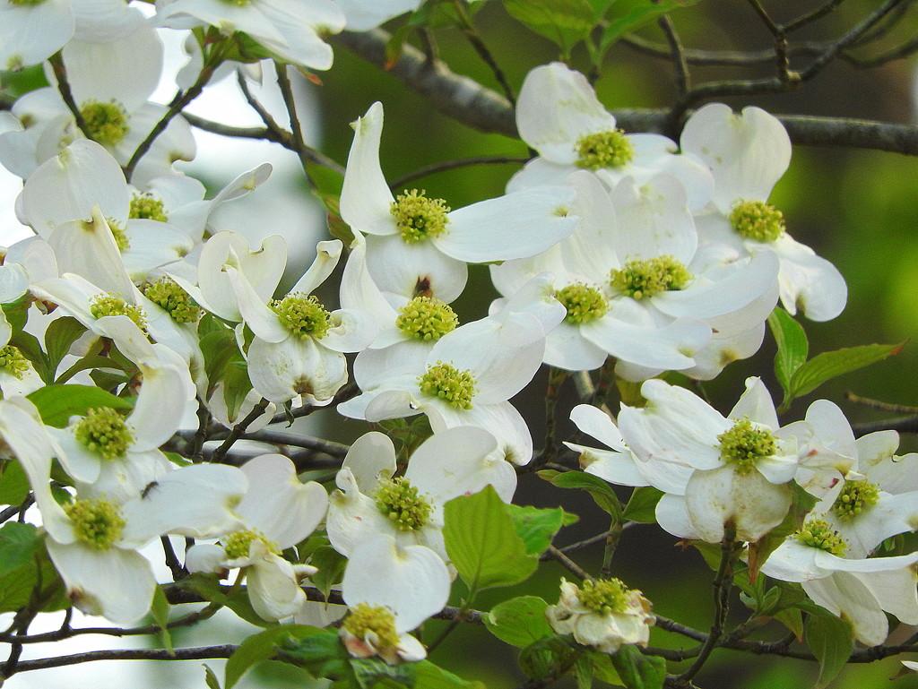Dogwood tree blooming by homeschoolmom