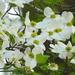 Dogwood tree blooming
