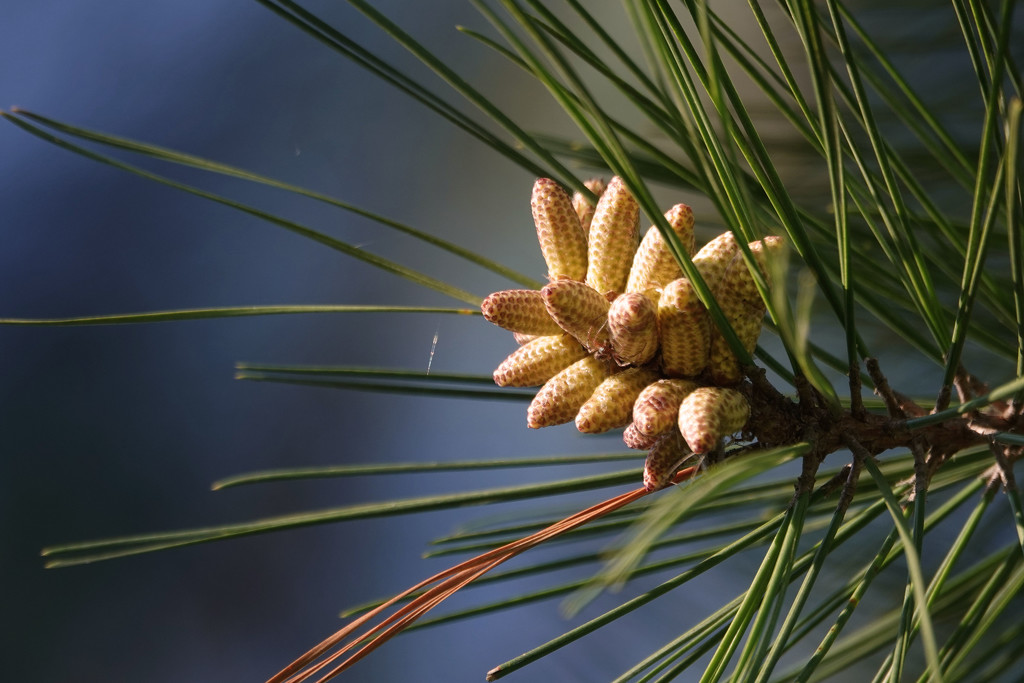 Pinecones in the Making by milaniet