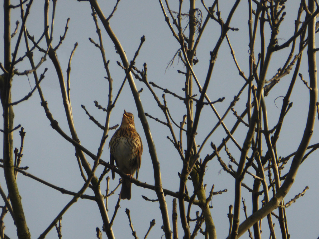 Song thrush singing its heart out by shannejw
