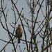 Song thrush singing its heart out