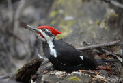 12th Apr 2019 - Pileated woodpecker!