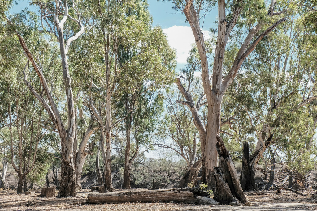Red gum frontage country by golftragic