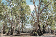 13th Apr 2019 - Red gum frontage country
